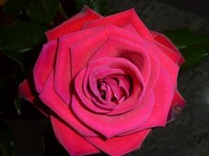 rose-210072_640
