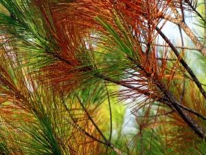 pine-65769_1280